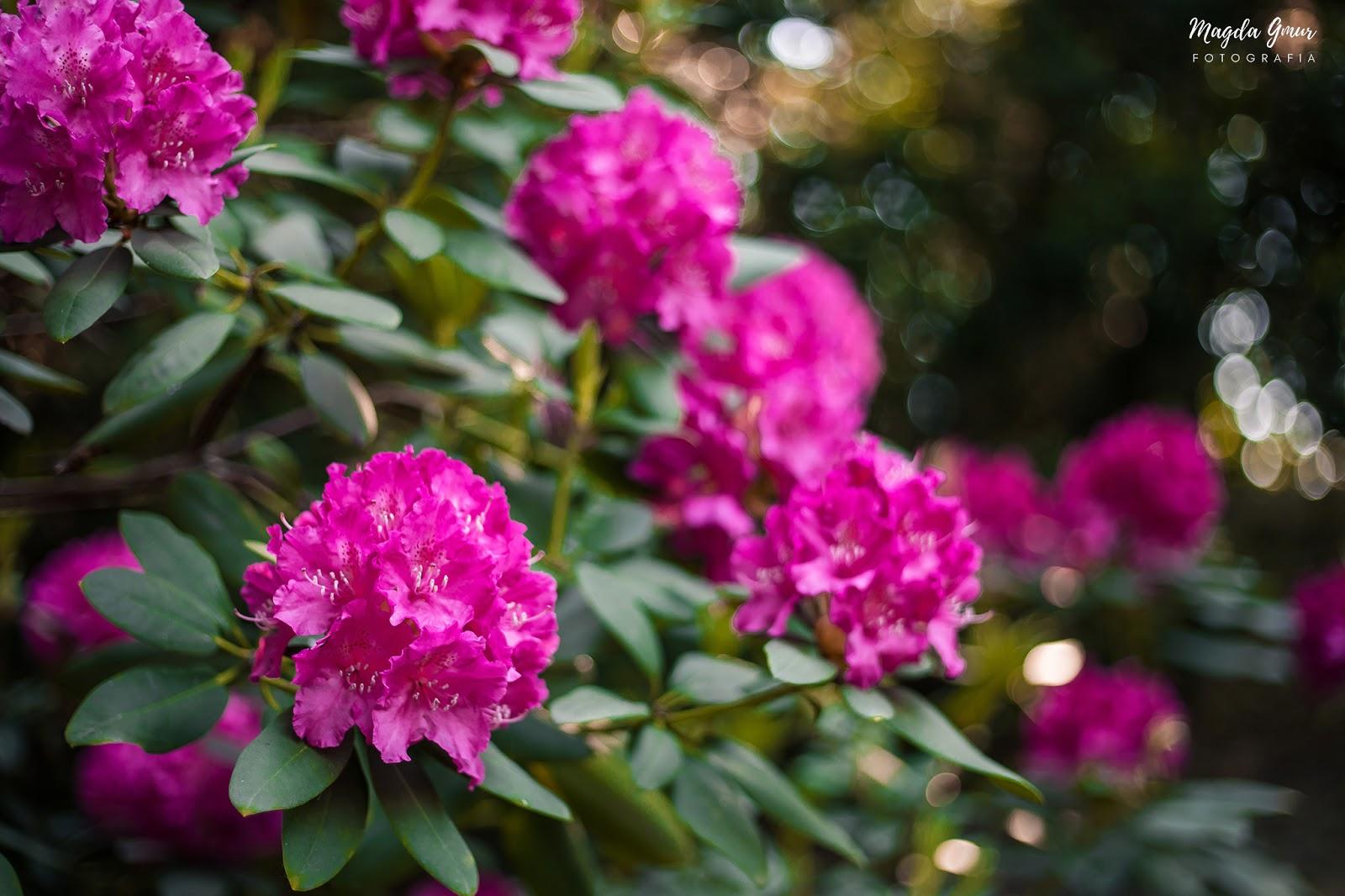 rododentron, ogród botaniczny, magda gmur fotografia