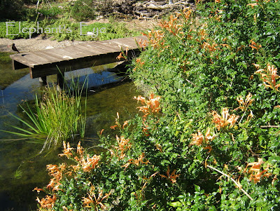 Tecoma capensis at Ungardening Pond
