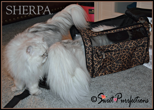 Brulee inside Sherpa® carrier while Truffle watches