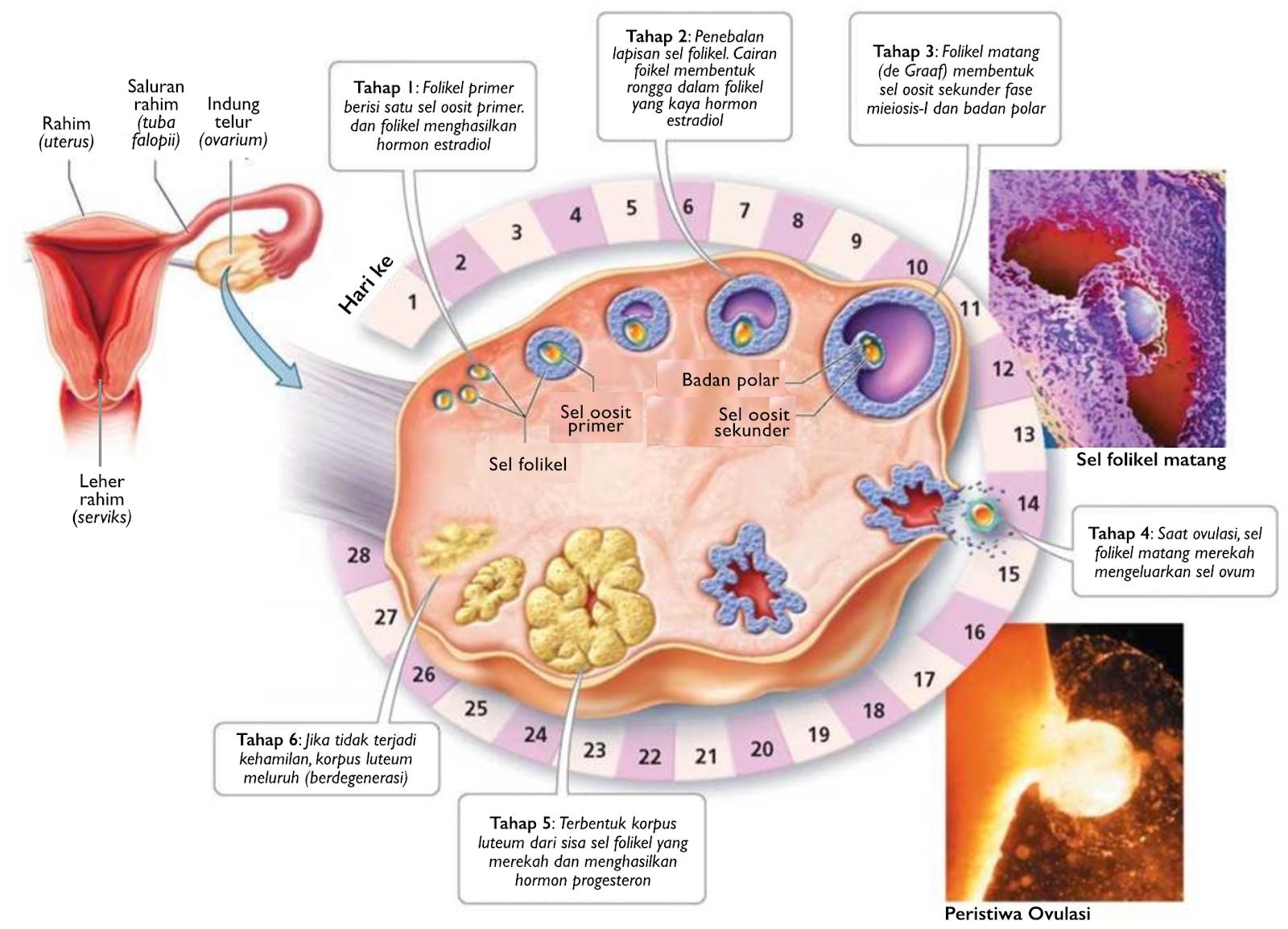 Qnc Jelly Gamat Asli Obat Herbal Polycystic Ovary Syndrome Pcos Berlegalitas Resmi Bpom Ri Tr173301471 Biasanya Diderita Wanita Yang Subur 15 44 Tahun Hampir 70 Dari Semua Memiliki Penyakit Ini Tidak Terdiagnosis Dalam Jangka Lama Dapat