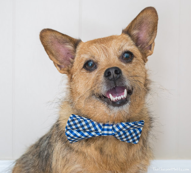 Jada the Chesnut Mutt with a bowtie