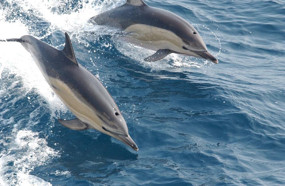 डॉल्फिन के बारे में यह बात नहीं जानते होगे आप - Dolphins in Hindi,Amazing facts about Dolphin in Hindi - डॉल्फिन के बारे में रोचक तथ्य