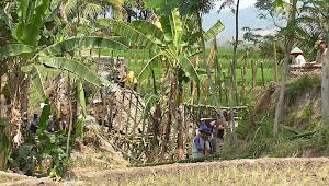 Talang Irigasi Putus, Ratusan Hektar Sawah di Kalinusu Brebes Terancam Gagal Panen