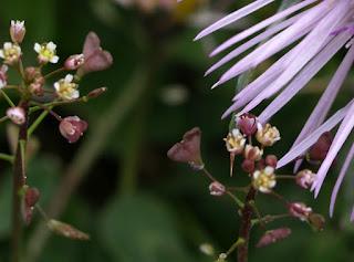 Bolsa de pastor (Capsella bursa pastoris)