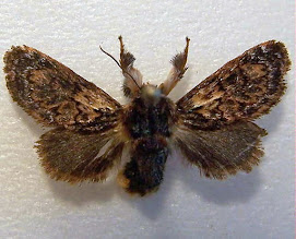 Adult Hag Moth