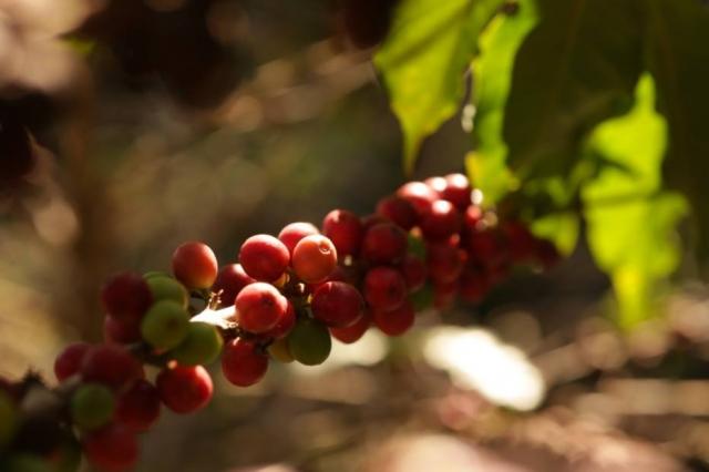 Guaspari lança primeira safra de café com grãos da Mantiqueira