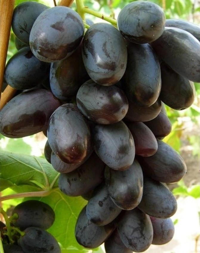 Bibit Tanaman buah anggur import geovani Padang Sidempuan