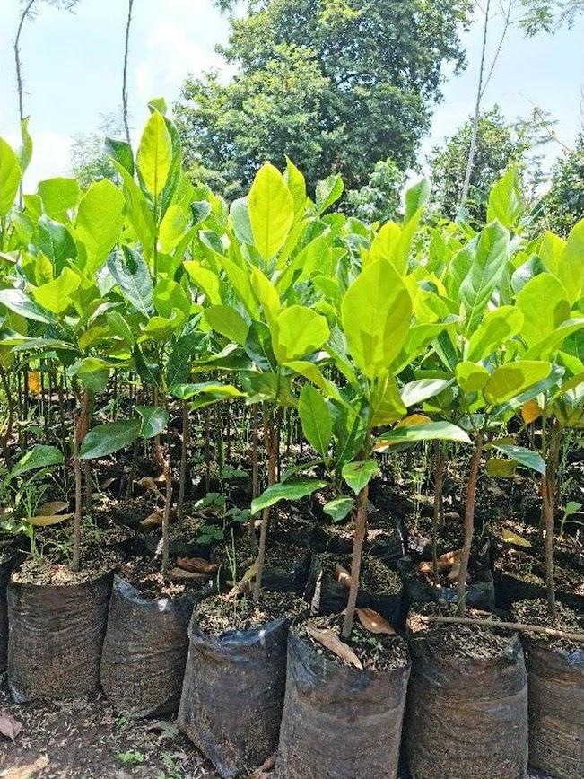 Bibit Nangkadak Hasil Stek Okulasi Cepat Berbuah Lampung