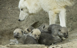 wolf wolves cute arctic cubs born austria baby mom very babies pack were bear