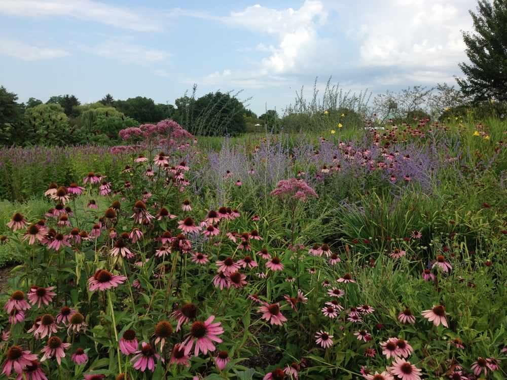 Chicago Botanic Garden's Native Plant Garden with plantings of predominantly pink Echinacea, Perovskia atriplicifolia Blue Spires and Eutrochium
