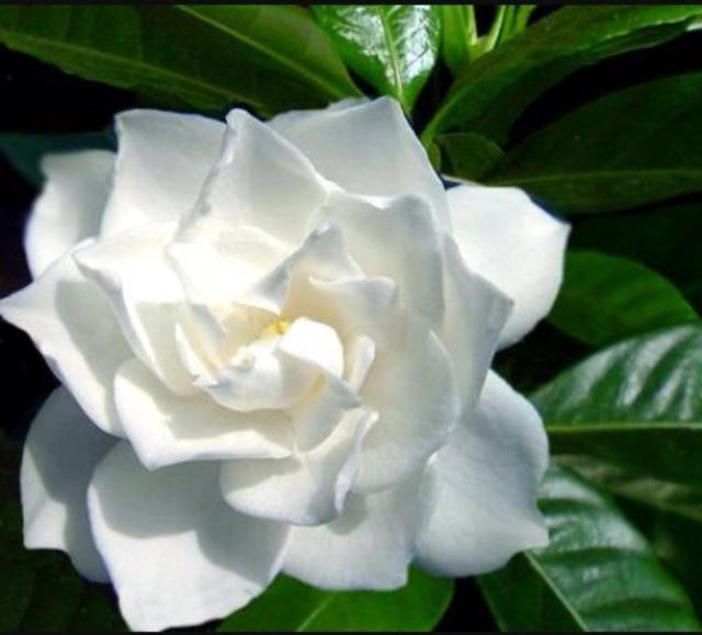 Fiori Gialli Gardenia.Vita Da Fiori Gardenia Il Fiore All Occhiello