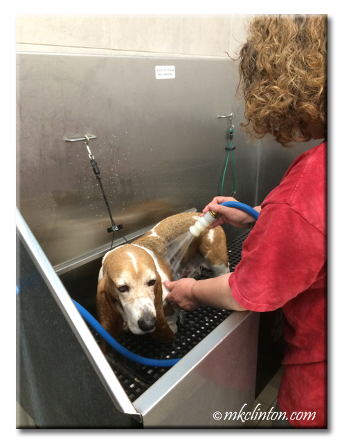 Basset being bathed in commercial tub