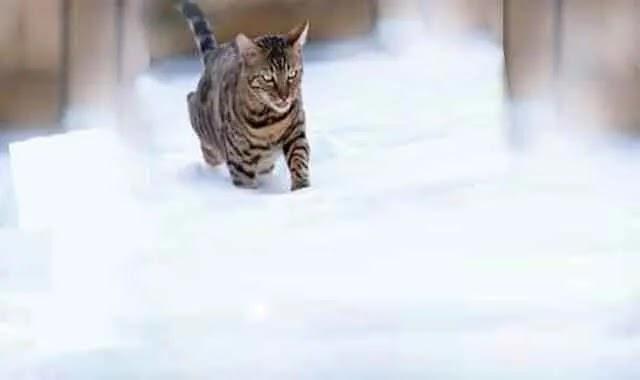 Les chats du Bengal ont-ils froid et conseils pour les garder au chaud