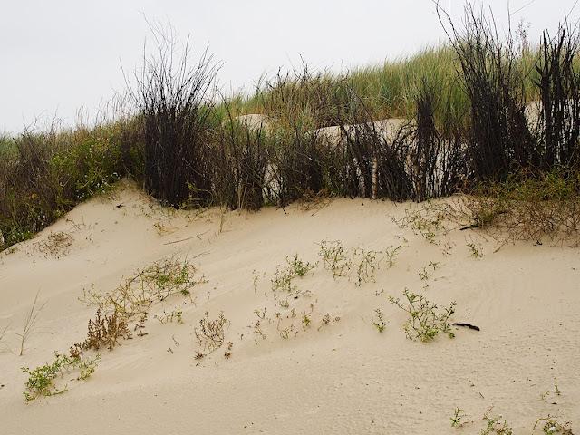 Reisigbündel sichern die Dünen