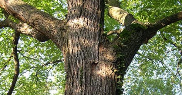 Pohon UImus