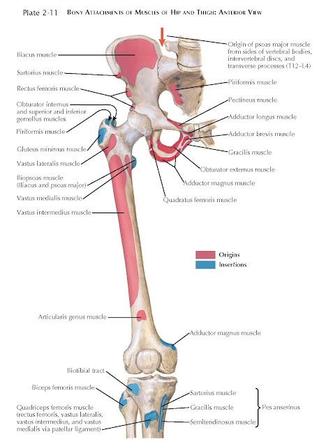BONY ATTACHMENTS OF MUSCLES OF HIP AND THIGH: ANTERIOR VIEW