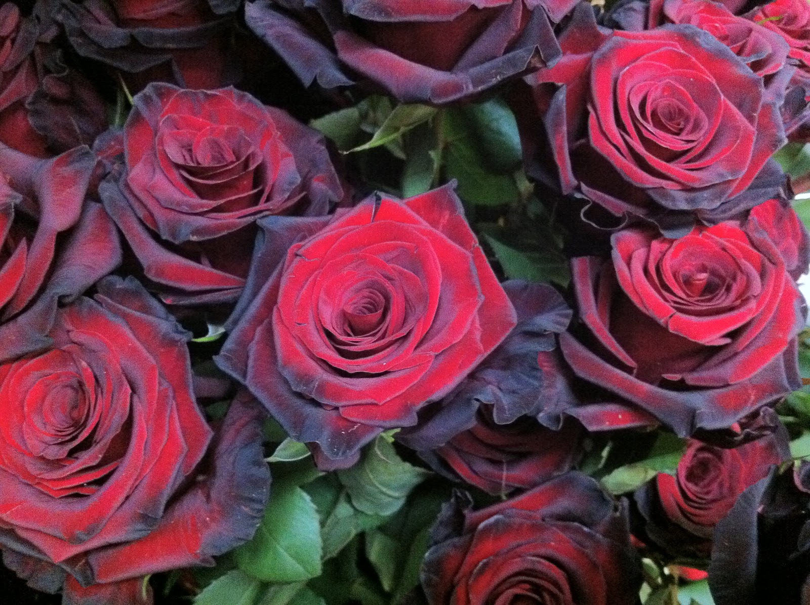 Stein Rose: The Enchanted Petal: Lovely Is The Rose