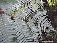 Silver tree fern leaf underside - Christchurch Botanic Gardens, New Zealand