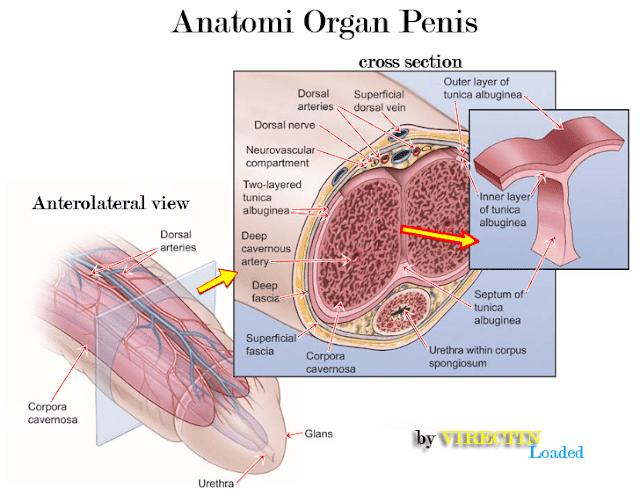 anatomi organ penis-obat pembesar penis