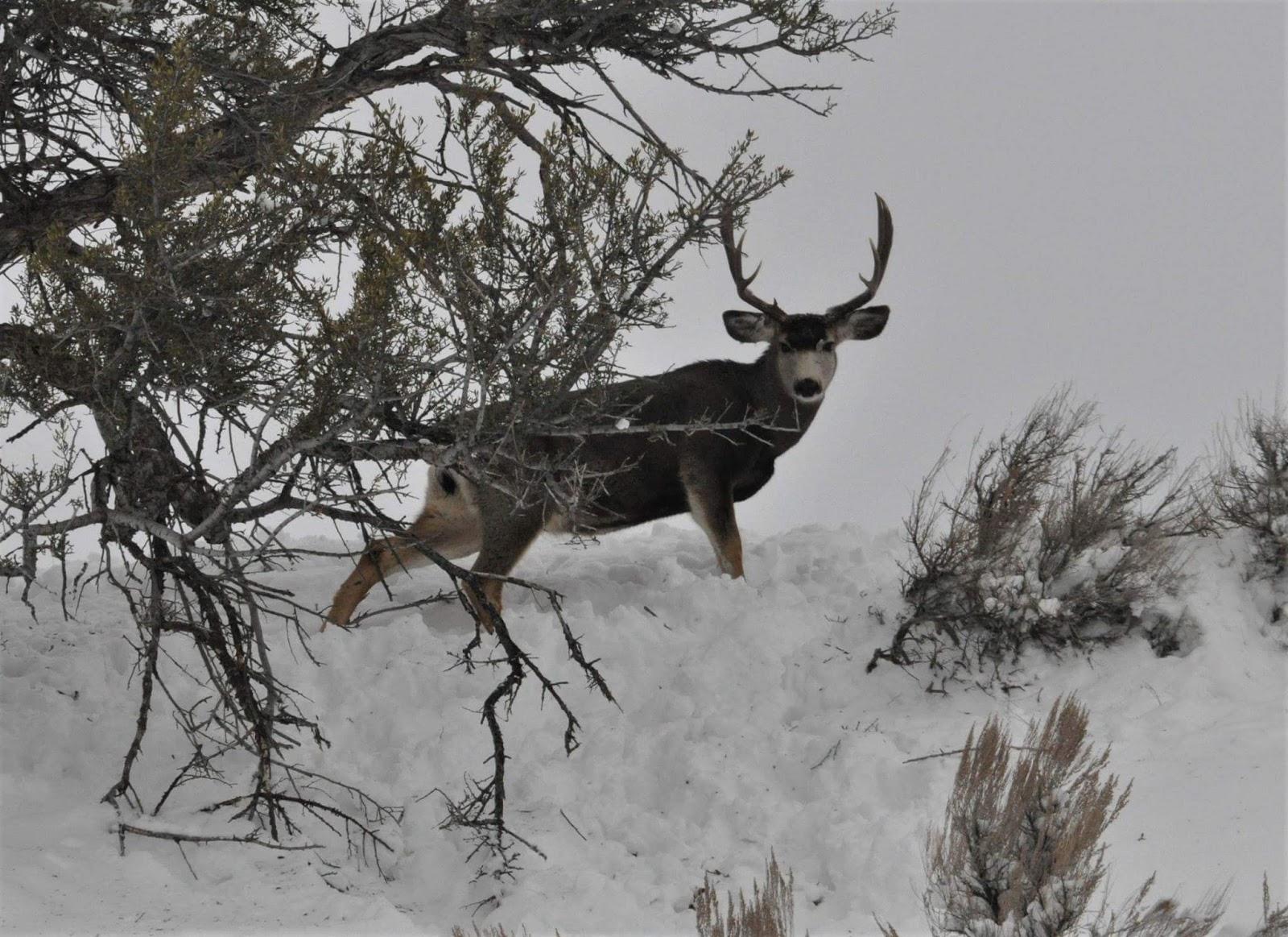 Elk Tracks: 2017