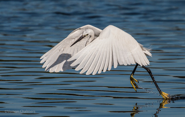 Little Egret in Flight: Canon EOS 70D / Canon EF 70-300mm f/4-5.6L IS USM Lens