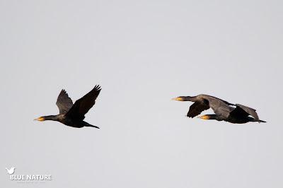 Bando en vuelo de cormorán grande (Phalacrocorax carbo), probablemente volarán hacia el río, donde les gusta ponerse a descansar y secar sus plumas mediante baños de sol.