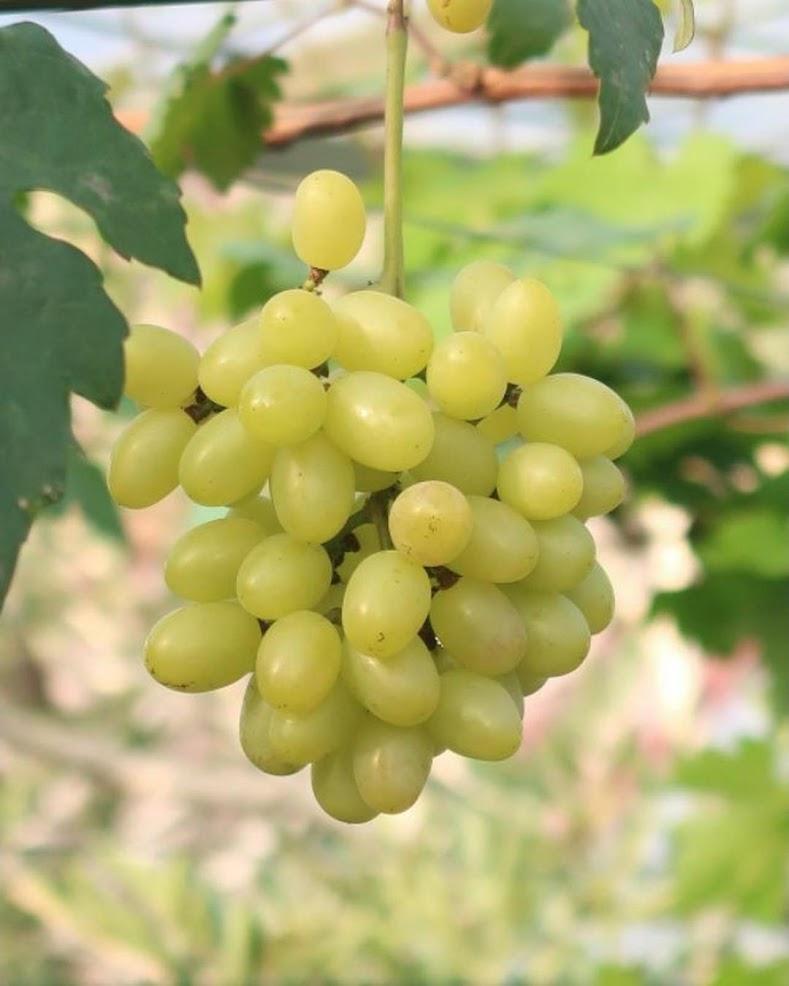 bibit anggur impor tranfiguration Kalimantan Timur