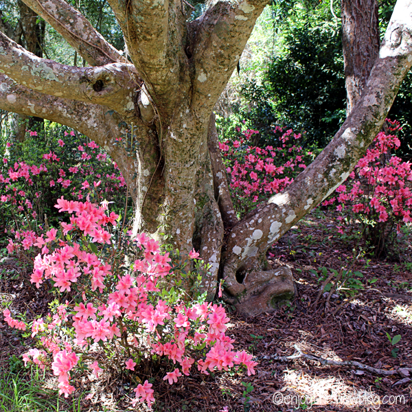 pink azaleas and trees