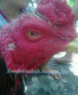 Mengenal ciri mata ayam bangkok berkualitas