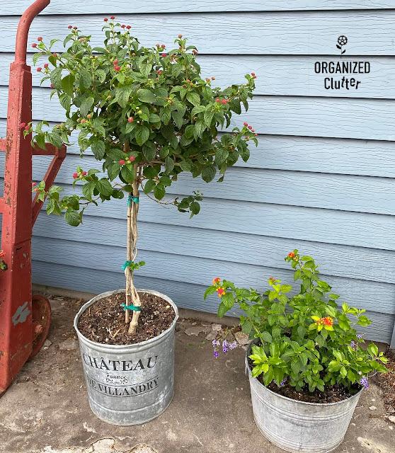 Photo of a lantana topiary & potted lantana & duranta.