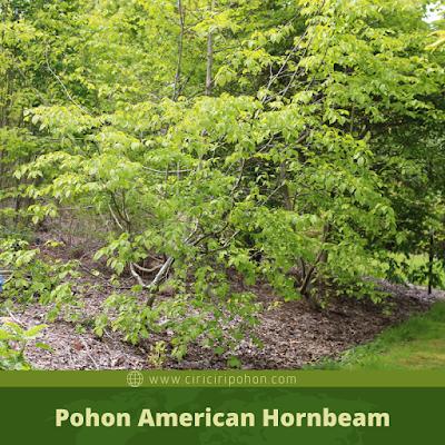 Ciri Ciri Pohon American Hornbeam