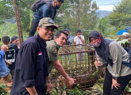 1 Ekor Harimau Sumatera Ditangkap, Petani Dilarang Berkebun Dikhawatirkan Induknya Ngamuk