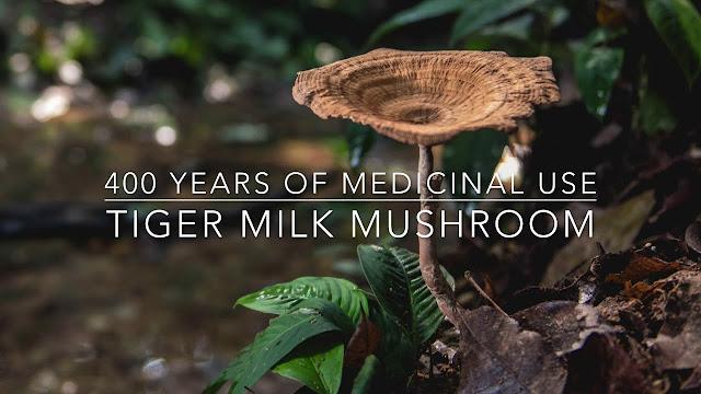 The Tiger Milk Mushroom