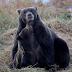 Beruang oh beruang, kenapa engkau gemuk?