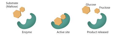 Structures of Enzymes