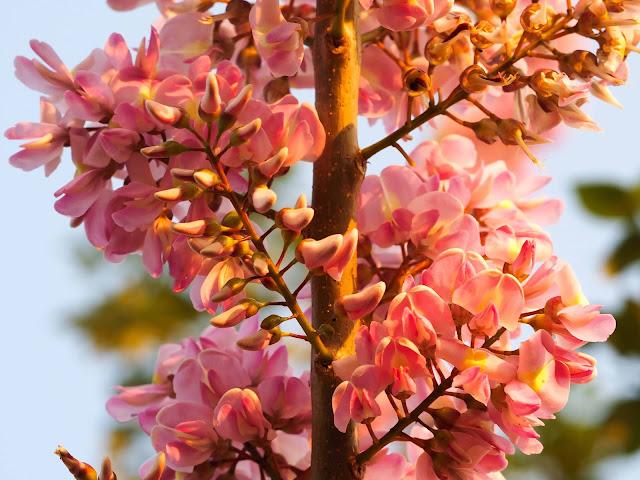 Hoa Đỗ Mai nở rộ ở chân núi Ngũ Hành Sơn, Đà Nẵng