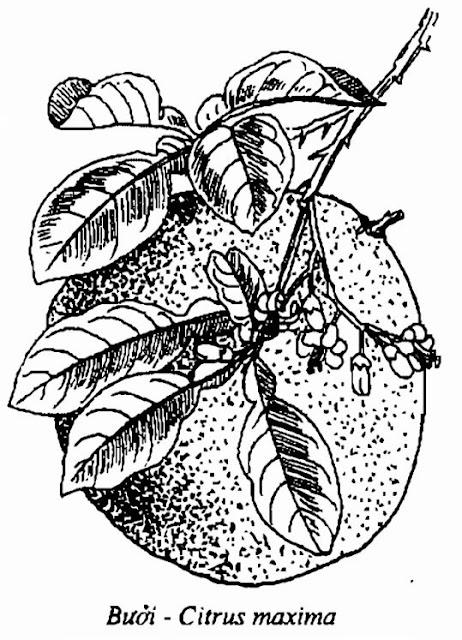 Hình vẽ Bưởi - Citrus maxima - Nguyên liệu làm thuốc Chữa Cảm Sốt