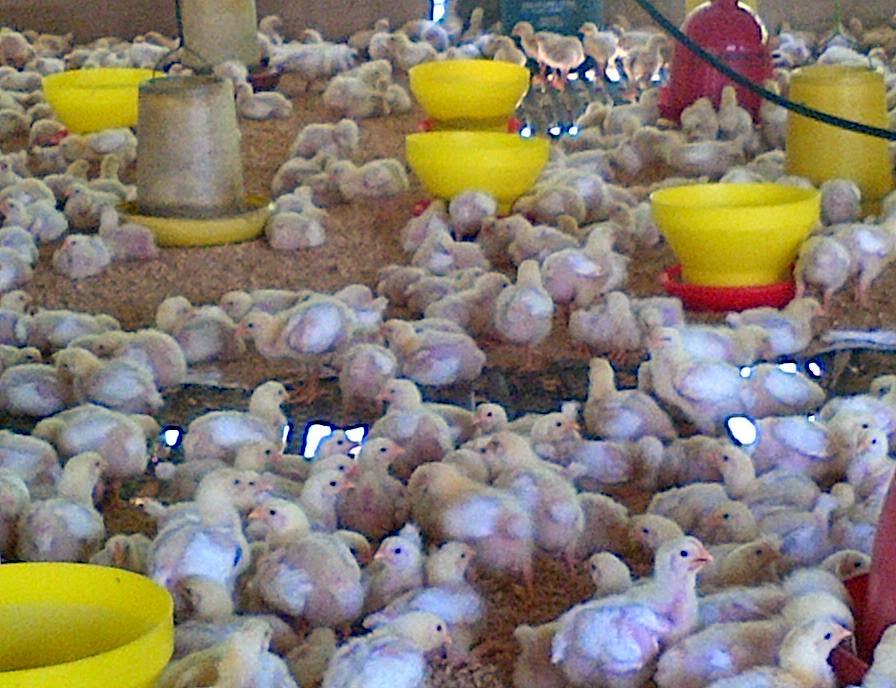 Tips Pengaturan Pakan dan Minum yang Tepat pada Peternakan Ayam Broiler
