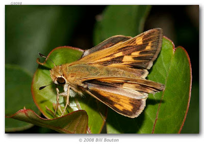 Mariposa saltarína leonada (Hylephila phyleus)