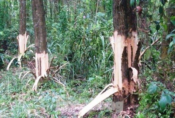 """Bí thư chỉ đạo cạo vỏ để cây của dân chết """"được tín nhiệm cao"""""""