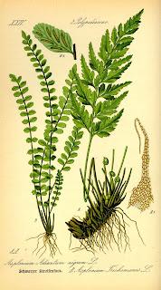 Asplenium trichomanes botanical drawing (www.biolib.de).