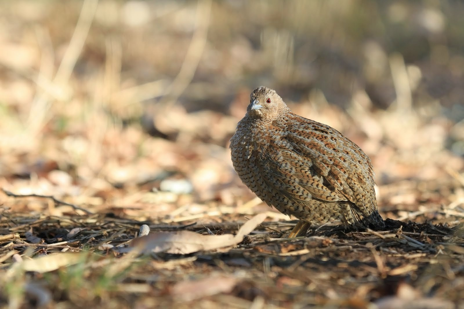 Brown Quail, Purnululu National Park, WA