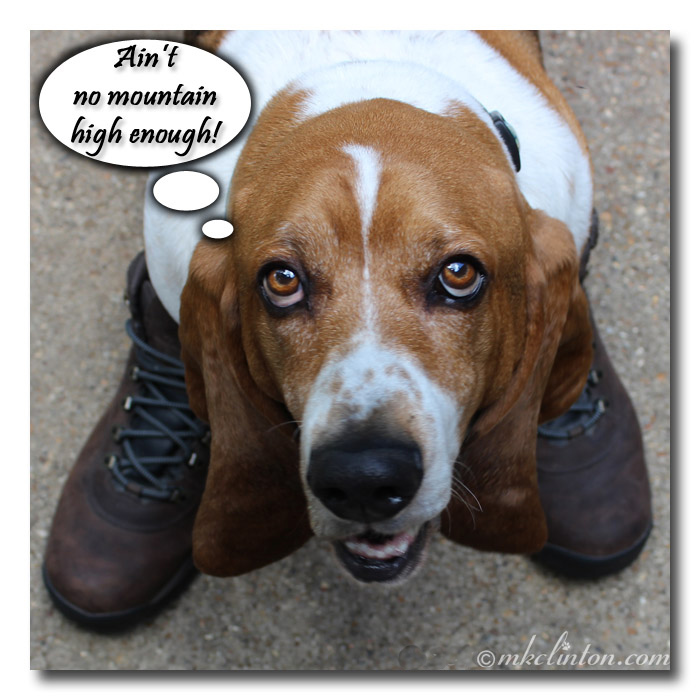 Basset wearing boots