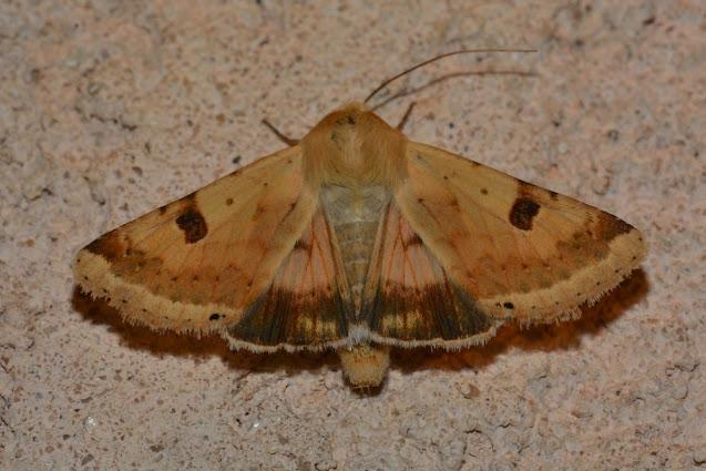 Heliothis peltigera