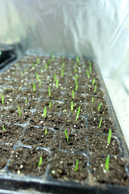 Aloe dawei seedlings