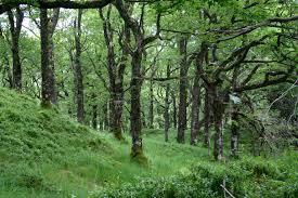Cultivo forestal de robles