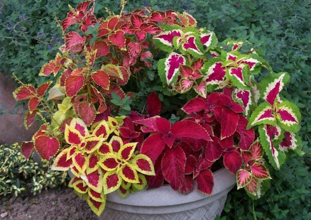 Coleus Blumei Labiatae house plant picture
