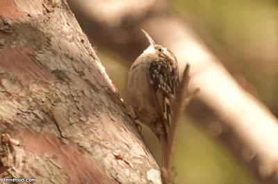 Raspinell (Certhia brachydactyla)