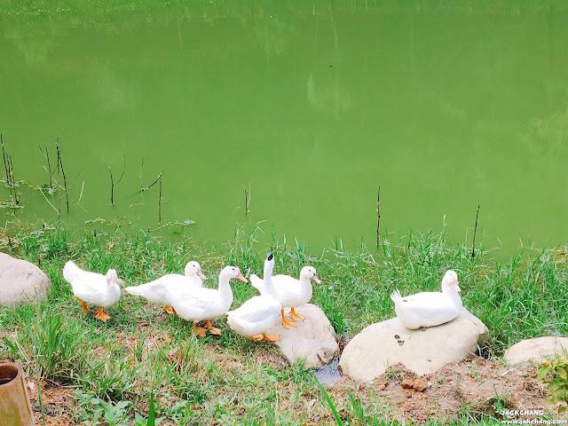 池塘邊戲水的鴨子