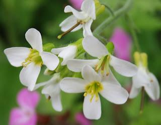 Arabis alpina, flor silvestre blanca